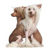 中国有顶饰狗, 11个和16个月 免版税库存图片