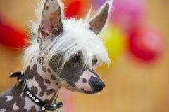 中国有顶饰狗 免版税库存照片