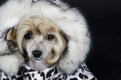 中国有顶饰狗 免版税库存图片