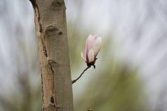 中国木兰花 免版税库存图片