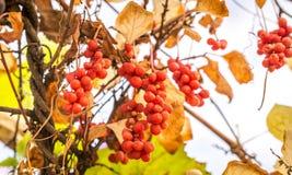 中国木兰藤莓果分支  免版税图库摄影