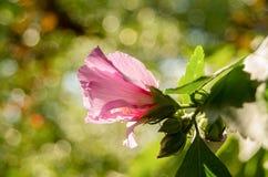 中国木槿 花桃红色木槿 免版税库存图片