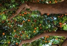 中国柑桔树。巴塞罗那。 免版税库存照片