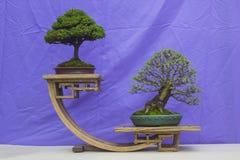 中国榆木和一个Chamaecyparis盆景组合在训练在北爱尔兰和在显示在贝尔法斯特春节a 免版税图库摄影