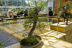 中国榆木榆树parvifolia -盆景仿照样式 免版税库存图片