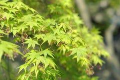 中国槭树的鲜绿色的叶子在狮子林,苏州,中国 免版税库存图片