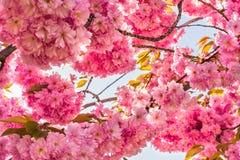 中国樱桃树 库存照片