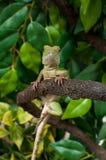 中国水龙蜥蜴爬行动物 库存图片
