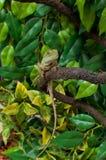 中国水龙蜥蜴爬行动物Physignathus cocincinus 免版税库存照片