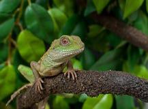 中国水龙蜥蜴爬行动物Physignathus cocincinus 免版税图库摄影