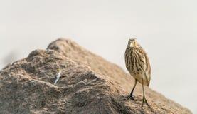 中国池塘苍鹭鸟 库存图片