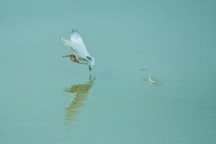 中国池塘苍鹭 库存照片