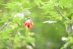中国灯笼树开花,老虎眼睛, 库存照片