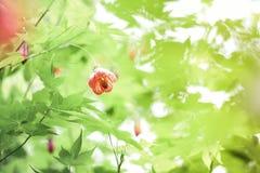 中国灯笼树开花,老虎眼睛, 图库摄影