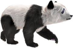 中国熊猫,野生生物,被隔绝,自然,动物 免版税图库摄影