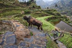 中国犁田者攀登小山,公牛主导地位  免版税库存照片