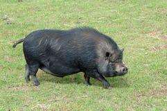 中国猪 免版税图库摄影