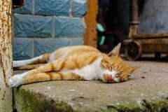 中国猫-龙李 免版税库存照片