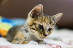 中国猫-龙李 免版税库存图片