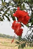 中国玫瑰红的花在印度 免版税库存照片