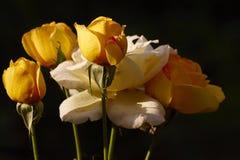中国玫瑰 库存照片