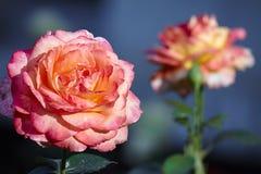 中国玫瑰 免版税库存照片