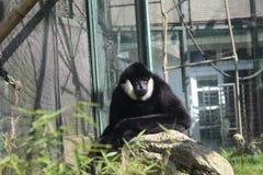 中国白的cheeked长臂猿在动物园利贝雷茨里 免版税库存照片
