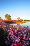 在湖附近的金鸡菊 图库摄影