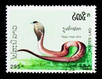 中国眼镜蛇(眼镜蛇atra),毒蛇serie,大约1992年 库存照片