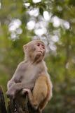 中国短尾猿手表 库存图片