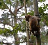 中国短尾猿攀登竹子 库存图片
