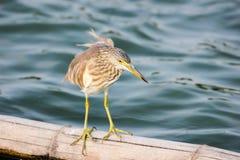中国苍鹭池塘 库存照片