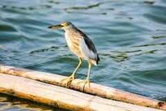 中国苍鹭池塘 图库摄影