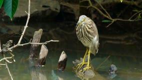 中国苍鹭鸟坐分支 影视素材