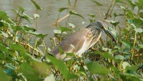 中国苍鹭鸟 影视素材