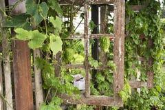 中国苦涩瓜或苦瓜属charantia植物在庭院里 免版税库存图片