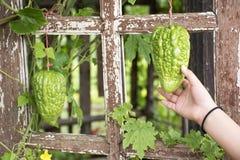 中国苦涩瓜或苦瓜属charantia植物在庭院里 免版税库存照片