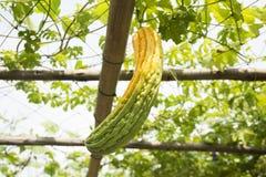 中国苦涩瓜或苦瓜属charantia platn在庭院里 免版税库存照片