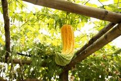 中国苦涩瓜或苦瓜属charantia platn在庭院里 免版税库存图片