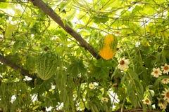 中国苦涩瓜或苦瓜属charantia platn在庭院里 库存图片
