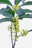 中国金黄木犀属植物特写镜头 库存图片