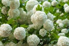 中国雪球荚莲属的植物头状花序是多雪的 开花美丽的白花在夏天庭院里 库存照片