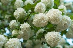 中国雪球荚莲属的植物头状花序是多雪的 开花美丽的白花在夏天庭院里 免版税库存照片