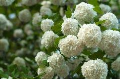 中国雪球荚莲属的植物头状花序是多雪的 开花美丽的白花在夏天庭院里 免版税库存图片