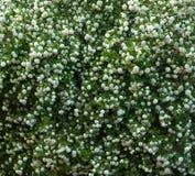 中国雪球荚莲属的植物头状花序是多雪的 开花美丽的白花在夏天庭院里 免版税图库摄影