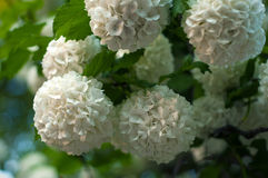 中国雪球荚莲属的植物头状花序是多雪的 免版税库存图片