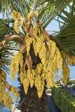 中国风车棕榈 库存图片