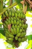 中国香蕉 免版税图库摄影