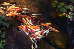 中国鲤鱼在与荷花的清楚的水中 免版税库存照片