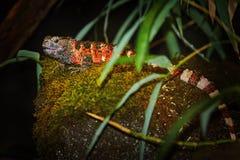 中国鳄鱼蜥蜴Shinisaurus crocodilurus 免版税库存图片